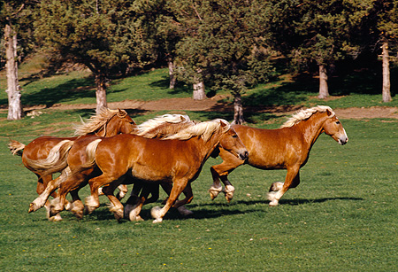 HOR 01 RK1039 07 © Kimball Stock Herd Of Belgian Horses Galloping On Pasture By Trees