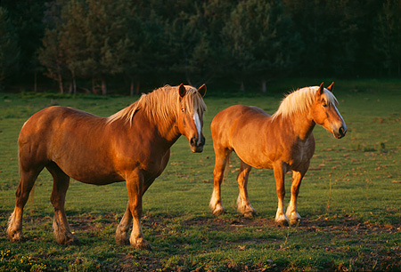 HOR 01 RK1044 01 © Kimball Stock Two Belgian Horses Standing On Grass By Trees
