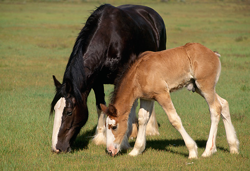 HOR 01 RK1045 18 © Kimball Stock Black Clydesdale Mare And Bay Foal Grazing On Pasture