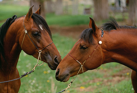 HOR 01 RK1079 08 © Kimball Stock Head Shot Of Bay Arabian Horses Nuzzling On Pasture
