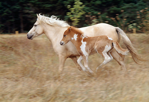 HOR 01 RK1088 07 © Kimball Stock Icelandic Mare And Foal Cantering On Pasture