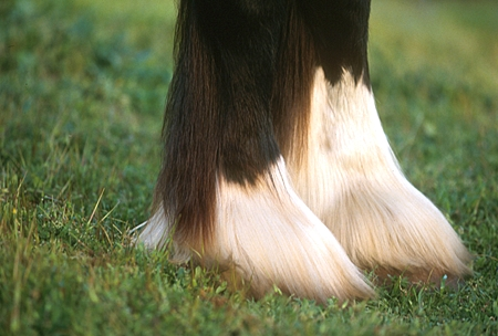 HOR 01 RK1116 01 © Kimball Stock Close Up Of Clydesdale Hooves
