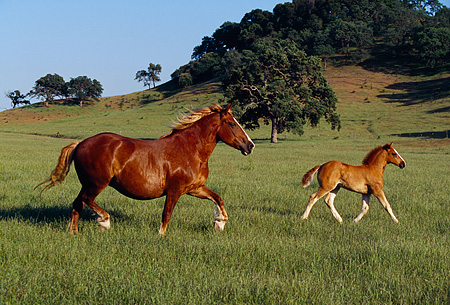 HOR 01 RK1123 03 © Kimball Stock Belgian Mare and Foal Trotting On Pasture