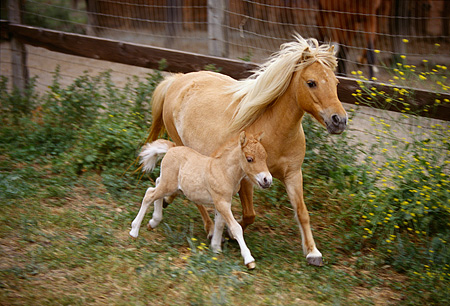 HOR 01 RK1165 02 © Kimball Stock Shetland Pony Mare And Foal In Paddock