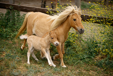 HOR 01 RK1165 10 © Kimball Stock Shetland Pony Mare And Foal In Paddock