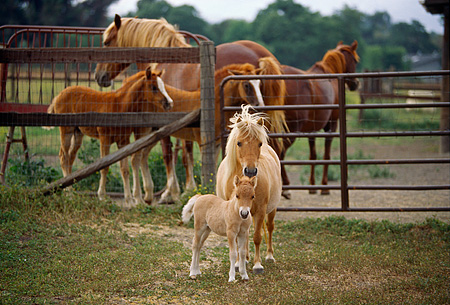 HOR 01 RK1165 17 © Kimball Stock Shetland Pony Mare And Foal In Paddock
