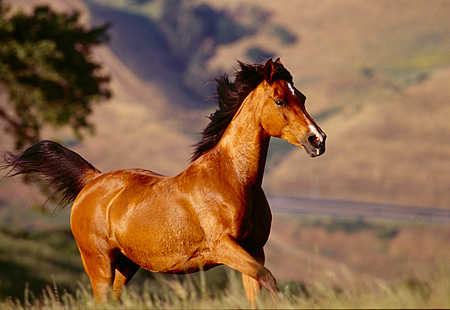 HOR 01 RK1167 05 © Kimball Stock Bay Horse Cantering In Pasture Hills Background