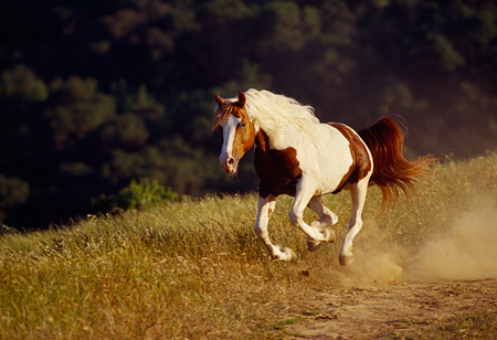 HOR 01 RK1171 08 © Kimball Stock Pinto Horse Galloping On Dirt Field By Trees