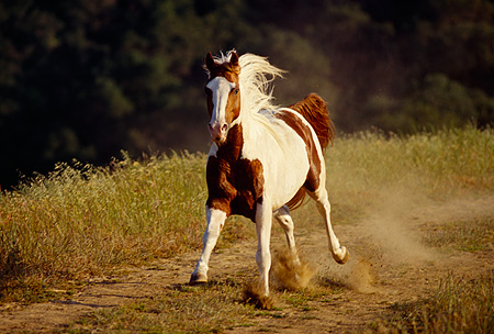 HOR 01 RK1171 42 © Kimball Stock Pinto Horse Galloping On Dirt Field By Trees