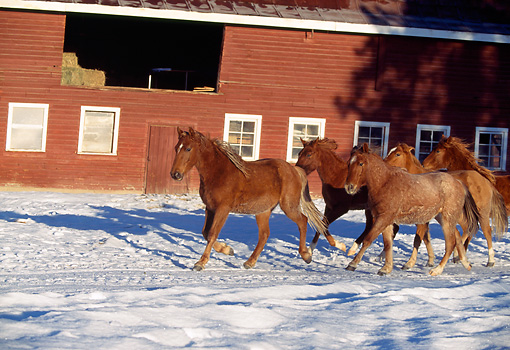 HOR 01 RK1180 01 © Kimball Stock Herd of Horses Trotting On Snow By Red Barn