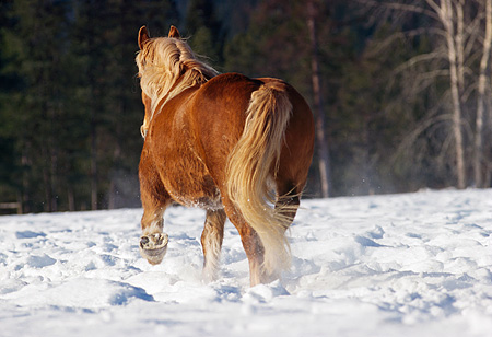 HOR 01 RK1203 01 © Kimball Stock Rear Shot Of Flaxen Chestnut Horse Trotting On Snow