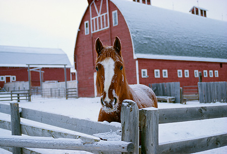 HOR 01 RK1221 04 © Kimball Stock Chestnut Horse Standing By Fence In Paddock By Red Barn