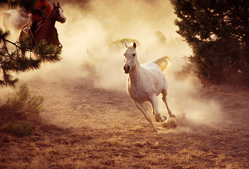 HOR 01 RK1227 04 © Kimball Stock Gray Horse In Dust