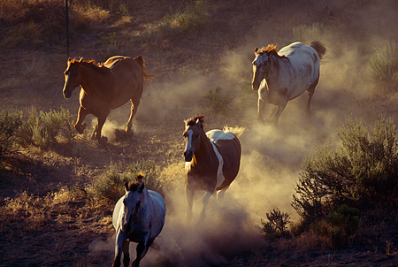HOR 01 RK1241 04 © Kimball Stock Herd of Horses Galloping Down Dirt Hill Making Dust Towards Camera