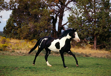 HOR 01 RK1252 09 © Kimball Stock Paint Horse Black And White Cantering On Grass By Trees
