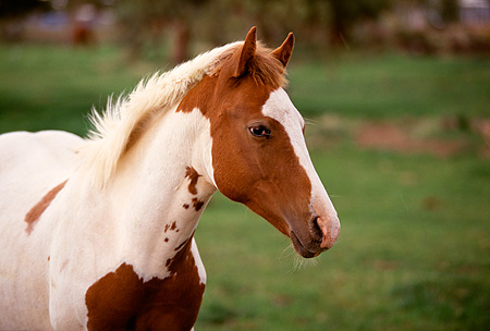 HOR 01 RK1257 09 © Kimball Stock Head Shot Of Chestnut And White Paint Horse On Grass