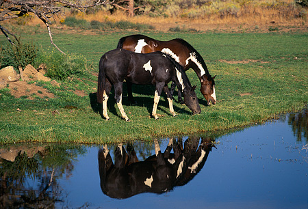 HOR 01 RK1261 10 © Kimball Stock Two Paint Horses On Grass By Water With Reflection