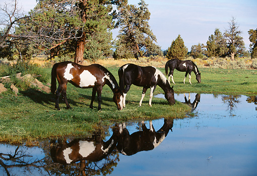 HOR 01 RK1264 18 © Kimball Stock Herd of Painted Horses Grazing On Grass By Water With Reflection