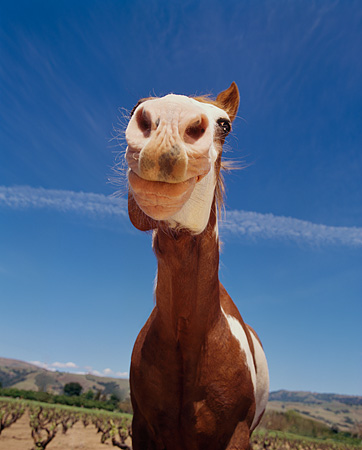 HOR 01 RK1271 03 © Kimball Stock Humorous Wide Angle Shot Of Pinto Horse Blue Sky