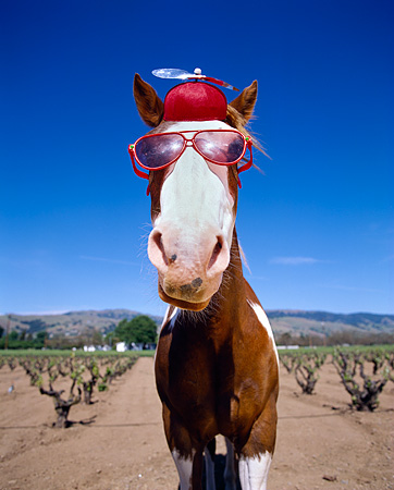 HOR 01 RK1272 07 © Kimball Stock Humorous Wide Angle Head Shot Of Horse Wearing Hat And Glasses Blue Sky