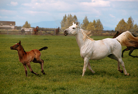 HOR 01 RK1302 03 © Kimball Stock Gray Arabian Mare And Colt Cantering On Green Pasture
