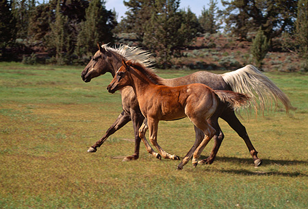 HOR 01 RK1310 01 © Kimball Stock Mare And Colt Quarter Horse Cantering On Green Pasture