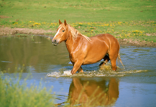 HOR 01 RK1324 01 © Kimball Stock Belgian Horse Wading In Pond