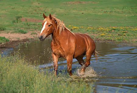 HOR 01 RK1324 04 © Kimball Stock Belgian Horse Wading In Pond