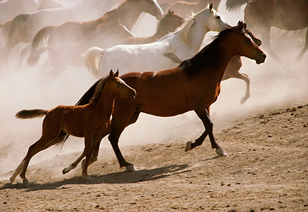 HOR 01 RK1334 21 © Kimball Stock A Herd Of Horses Galloping On Dirt Making Dust