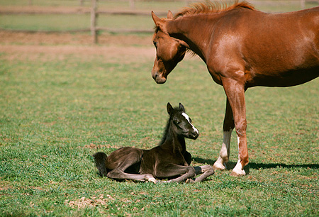 HOR 01 RK1393 09 © Kimball Stock Chestnut Arabian Mare And Black Foal Grazing On Pasture In Paddock