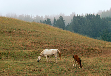 HOR 01 RK1400 01 © Kimball Stock Gray Arabian Mare And Bay Foal Grazing On Green Pasture