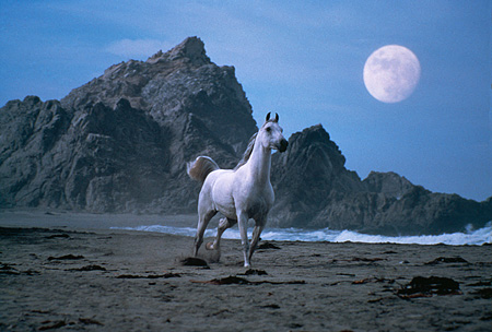 HOR 01 RK1421 10 © Kimball Stock Gray Arabian Horse Galloping On Beach By Rocks And Moon