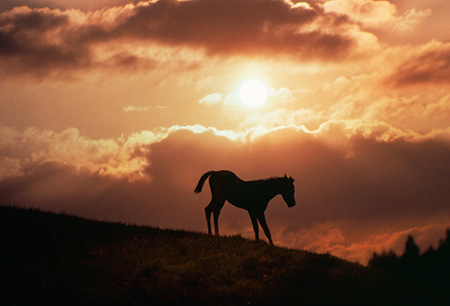 HOR 01 RK1423 06 © Kimball Stock Silhouette Profile Of Arabian Horse On Hill At Sunset