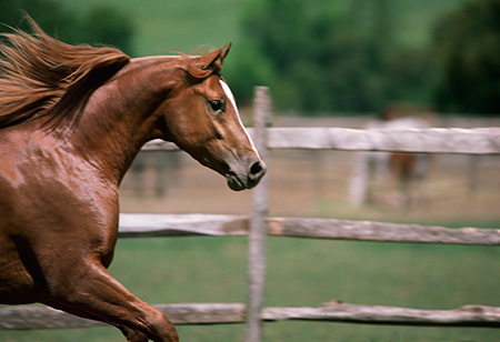 HOR 01 RK1437 03 © Kimball Stock Close-Up Of Chestnut Arabian Stallion Galloping In Paddock