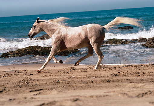 HOR 01 RK1441 01 © Kimball Stock Profile Of Gray Arabian Horse Galloping On Beach