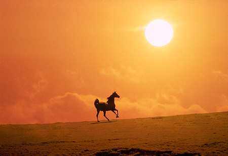 HOR 01 RK1556 03 © Kimball Stock Profile Of Arabian Horse Galloping On Pasture Special Effects Sun
