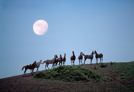 HOR 01 RK1559 07 © Kimball Stock A Herd Of Arabian Horses Standing On Hill Special Effects Moon