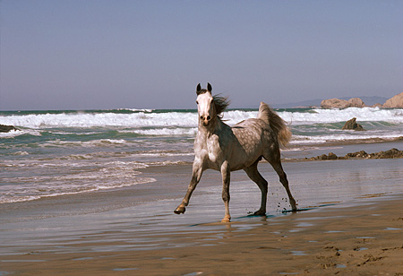 HOR 01 RK1561 04 © Kimball Stock Dapple Gray Arabian Stallion Cantering On Wet Sand At Beach