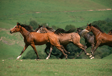 HOR 01 RK1597 39 © Kimball Stock A Herd Of Arabian Horses Galloping On Green Pasture In Paddock