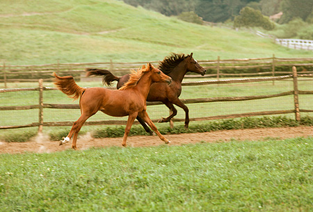 HOR 01 RK1601 02 © Kimball Stock Chestnut And Bay Arabian Horses Galloping In Paddock