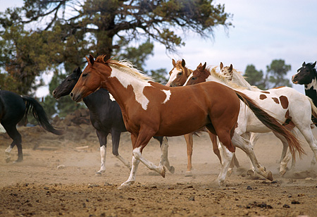 HOR 01 RK1634 14 © Kimball Stock Paint Horses Trotting On Dirt By Tree