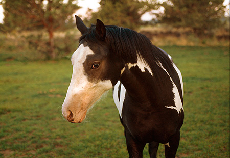HOR 01 RK1639 01 © Kimball Stock Close Up Of Black And White Paint Horse On Pasture