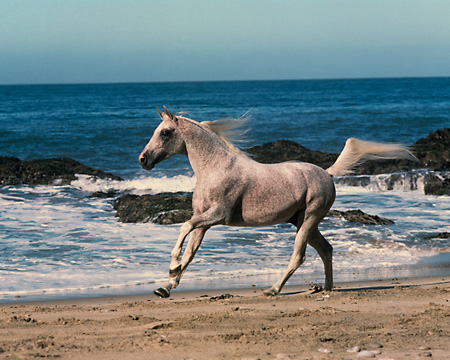 HOR 01 RK1675 01 © Kimball Stock Gray Arabian Stallion Cantering On Beach