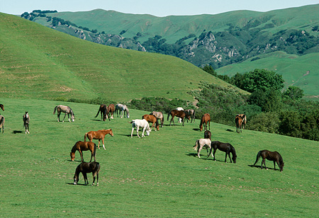 HOR 01 RK1724 01 © Kimball Stock Herd Of Horses Grazing On Green Pasture Hills Background