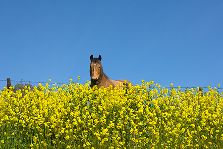 HOR 01 RK1742 01 © Kimball Stock Head Shot Of Grullo Horse In Yellow Flower Field