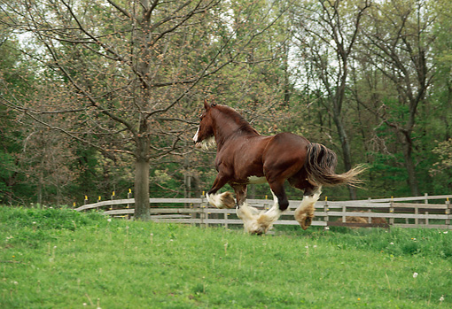 HOR 01 RS0044 01 © Kimball Stock Clydesdale Cantering In Pasture By Fence And Trees Rear View