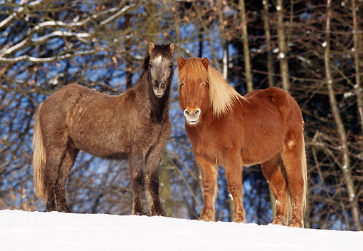 HOR 01 SS0077 01 © Kimball Stock Two Icelandic Horses Standing In Snow