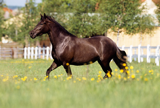HOR 01 SS0116 01 © Kimball Stock Black Paso Fino Trotting In Pasture