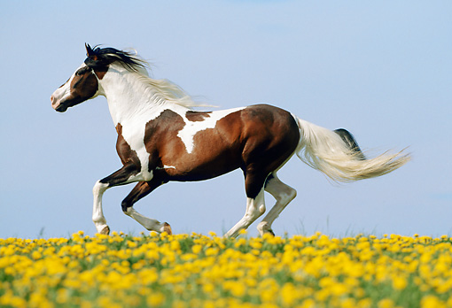 HOR 01 SS0122 01 © Kimball Stock Bay Pinto Paso Fino Stallion Cantering In Pasture Of Yellow Wildflowers