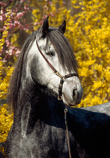 HOR 01 SS0123 01 © Kimball Stock Head Shot Of Gray Paso Fino Stallion By Yellow Flowers